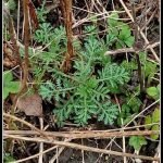 Allergies, attention! La pulvérisation de pollen de l'herbe à poux devient plus forte!